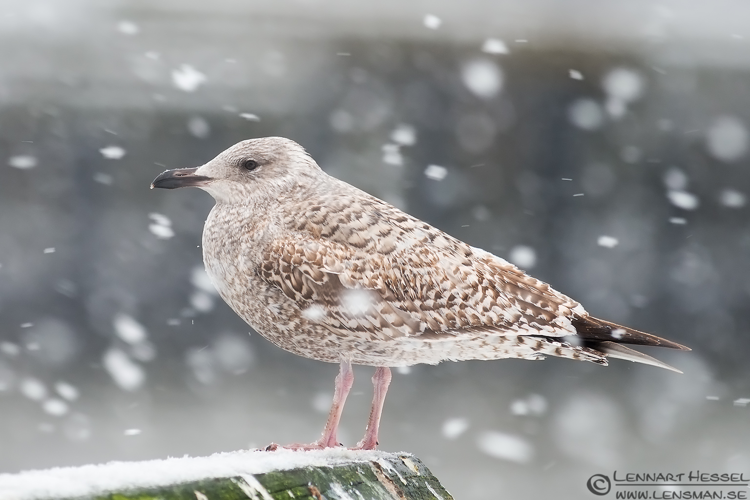 Juvenile European Herring Gull winter photo from the Fish Harbor