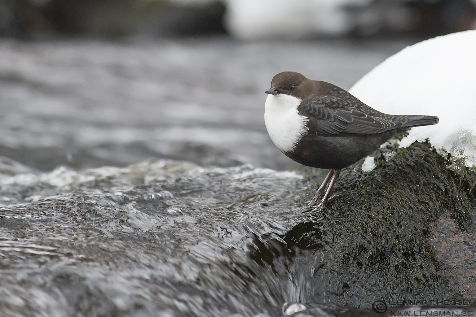 White-throated Dipper photo at winter