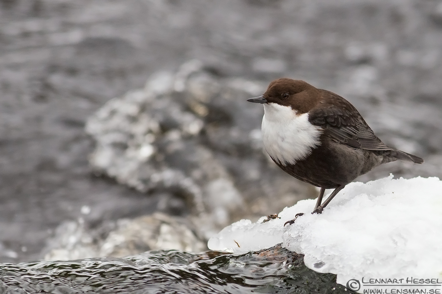ated Dipper photo at winter