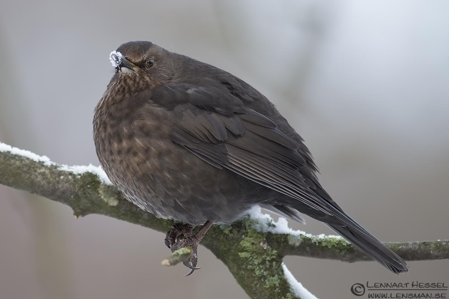 Common Blackbird female photo from Slottskogen on Christmas Eve
