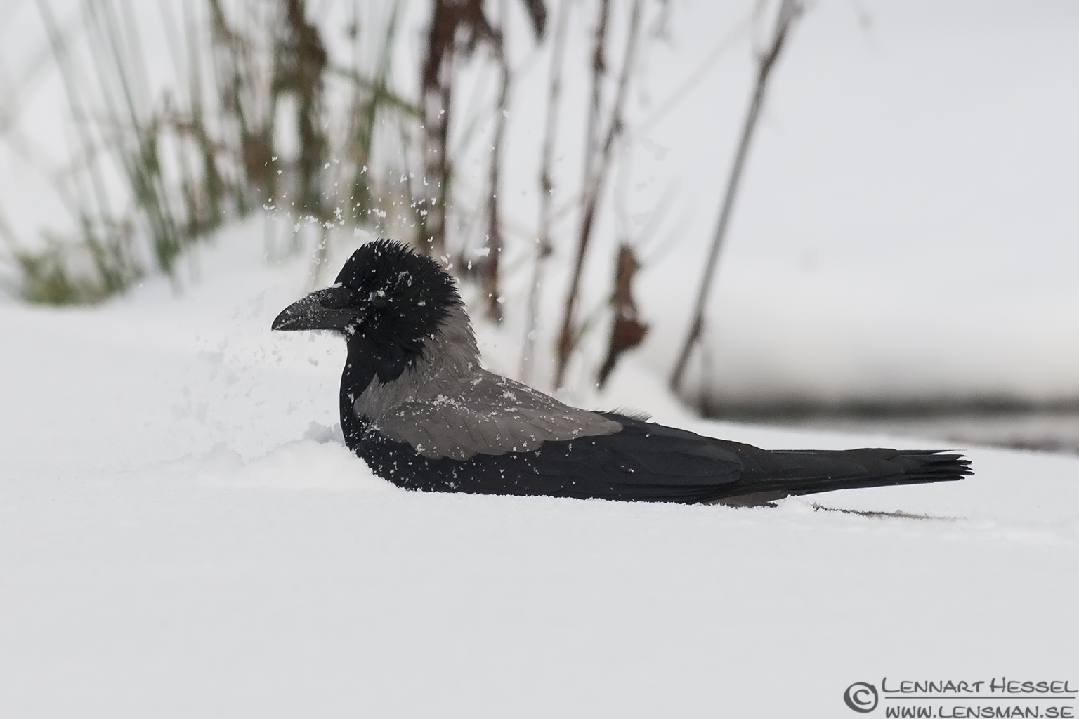 Hooded Crow washing photo from Slottskogen on Christmas Eve