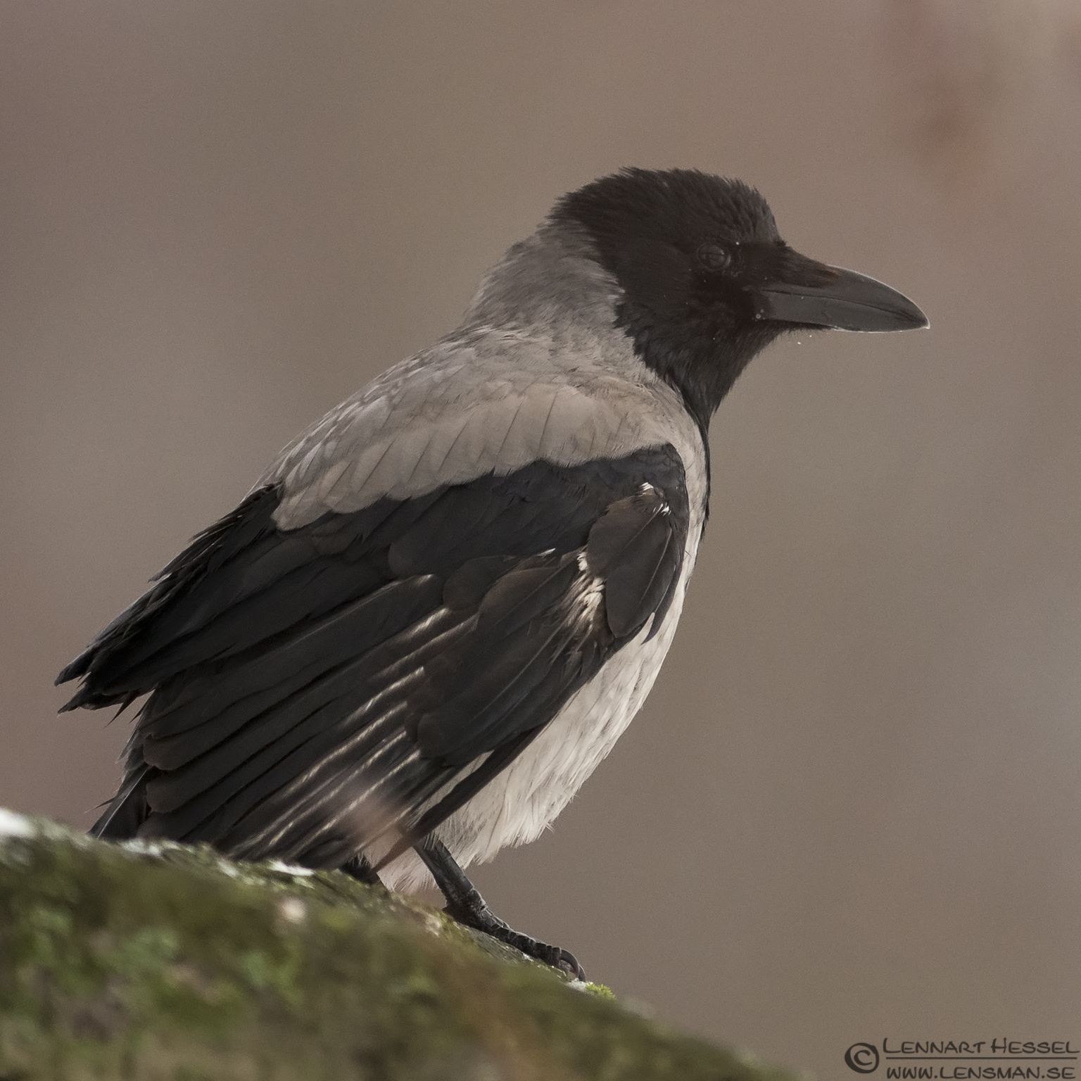 Hooded Crow photo from Slottskogen on Christmas Eve