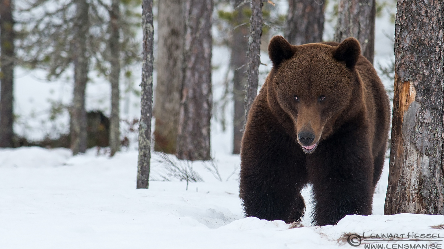 Brown Bear seen in Aftonbladet