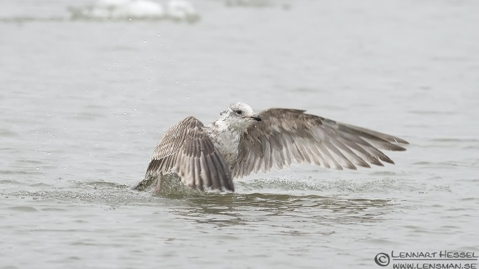 European Herring Gull practice along Göta Älv