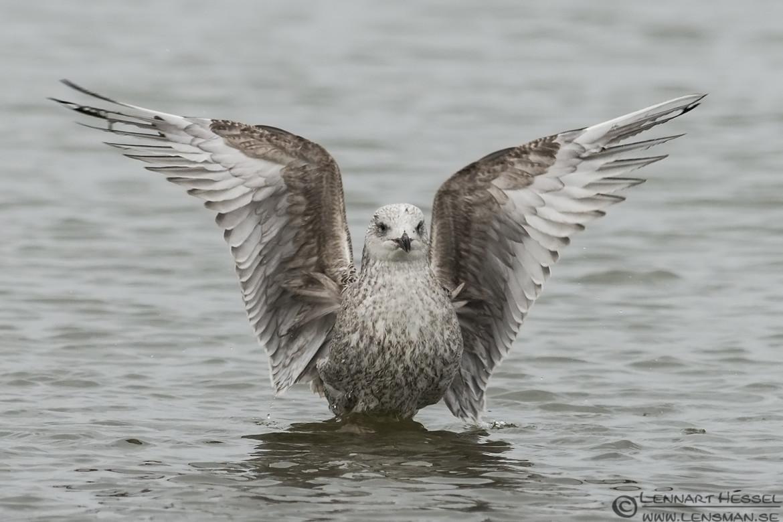 Juvenile European Herring Gull practice along Göta Älv wild bird
