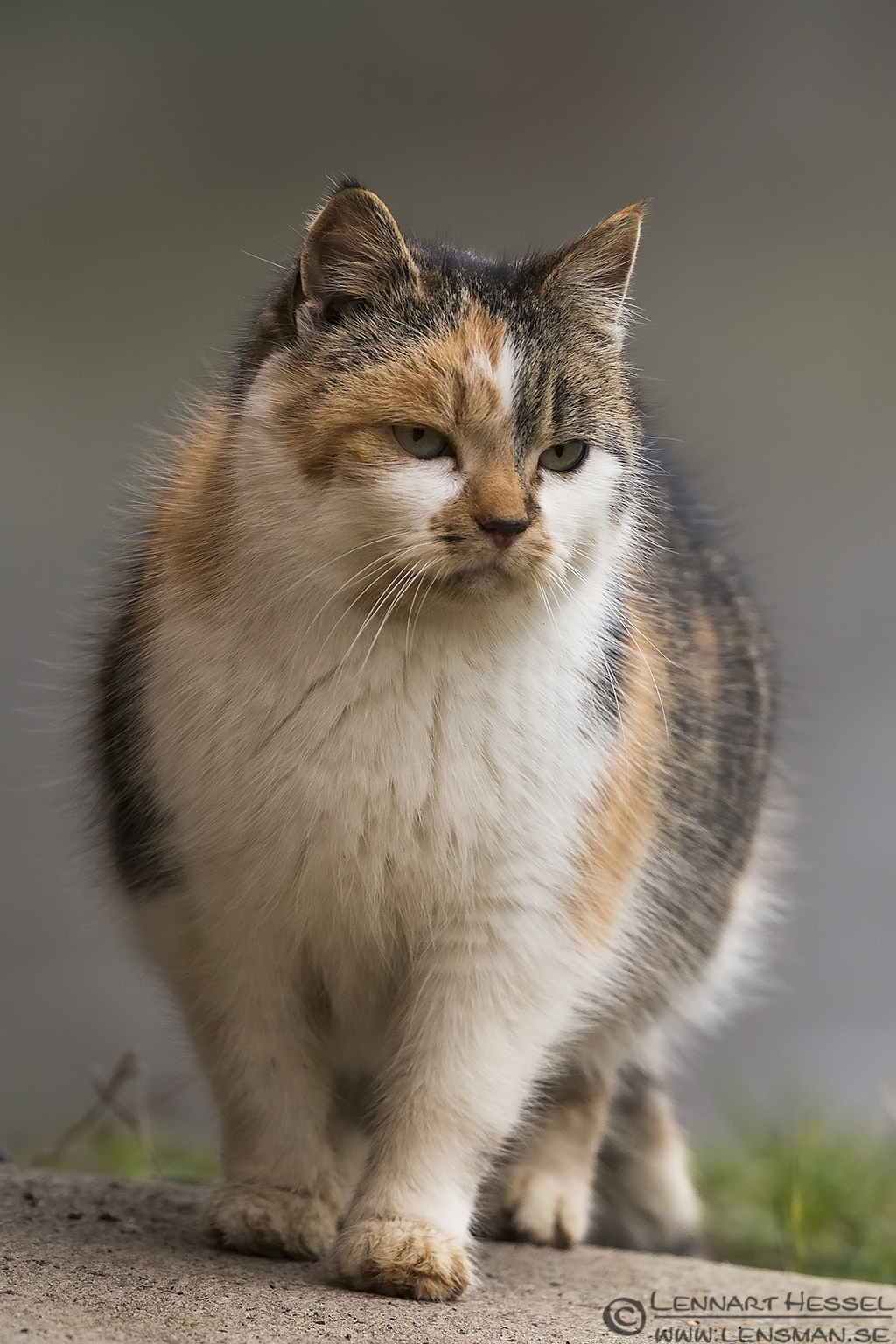 The house cat in Hungary