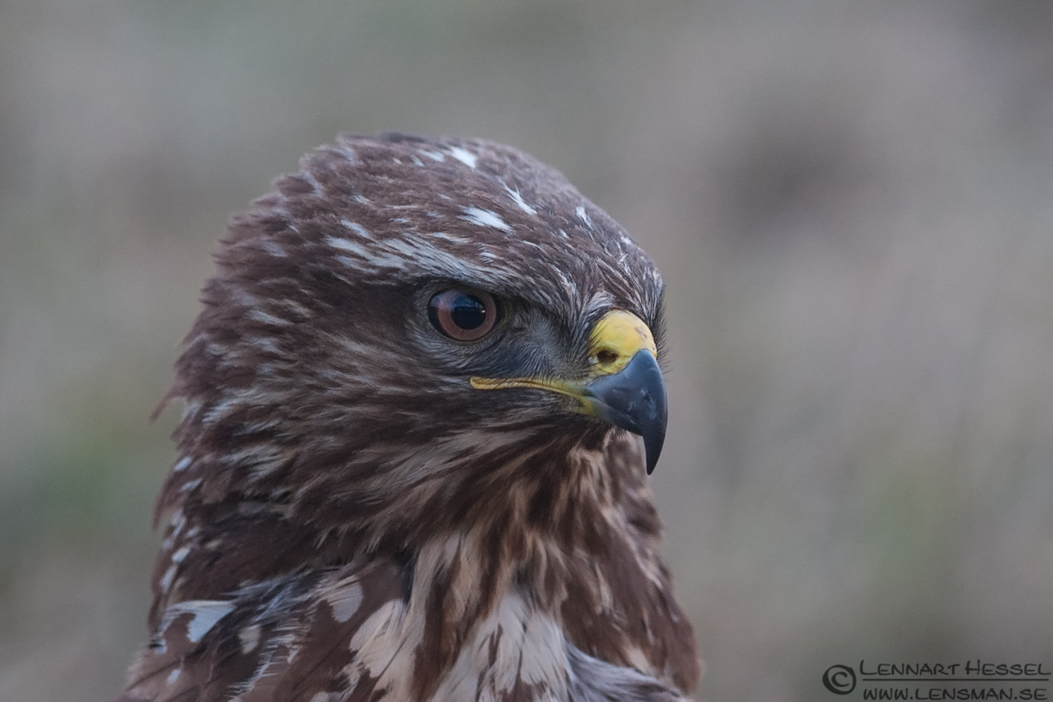 Common Buzzard closeup eagle