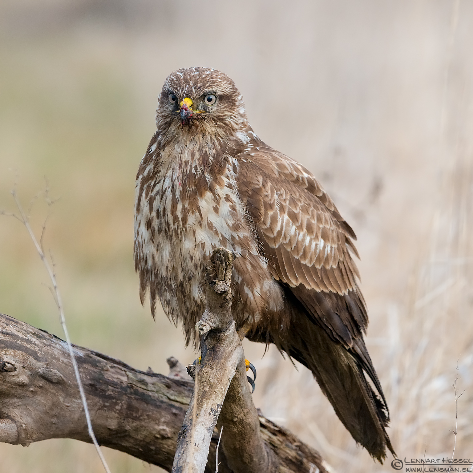 Common Buzzard portrait eagle