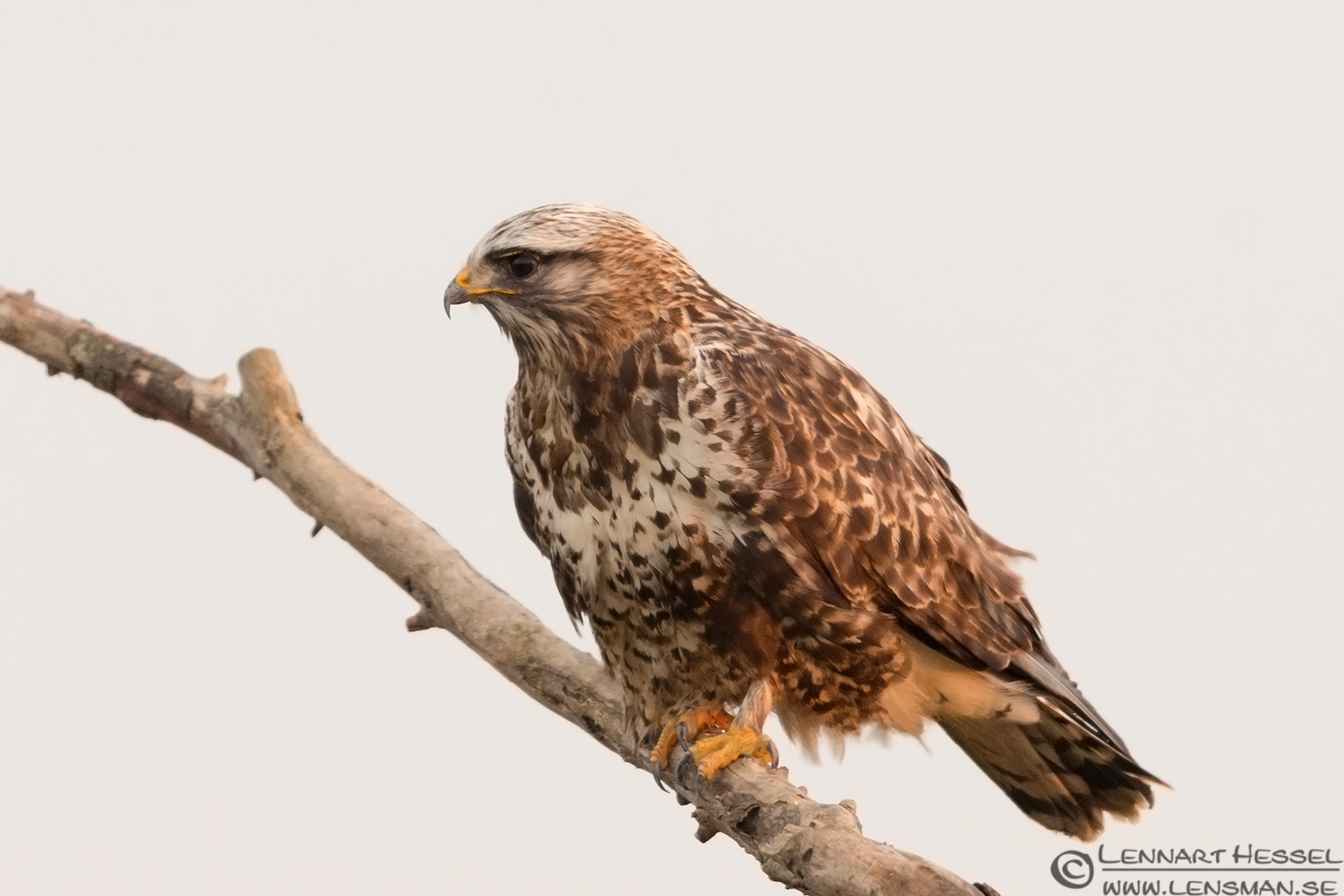 Rough-legged Buzzard eagle