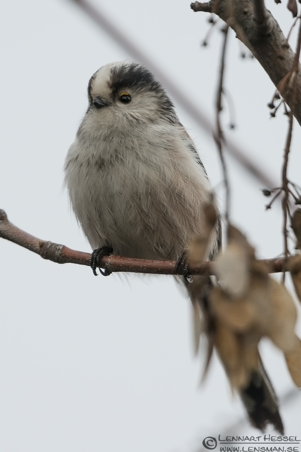 Long-tailed Tit Túrkeve