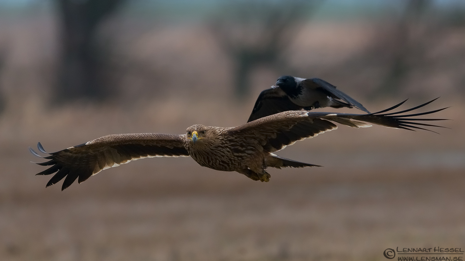 Imperial Eagle with company