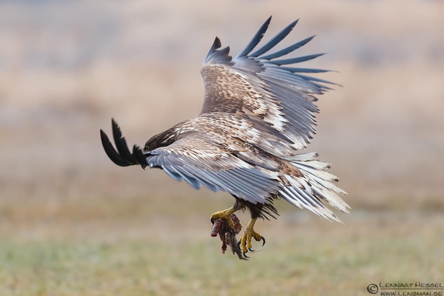 White-Tailed Eagle 130207