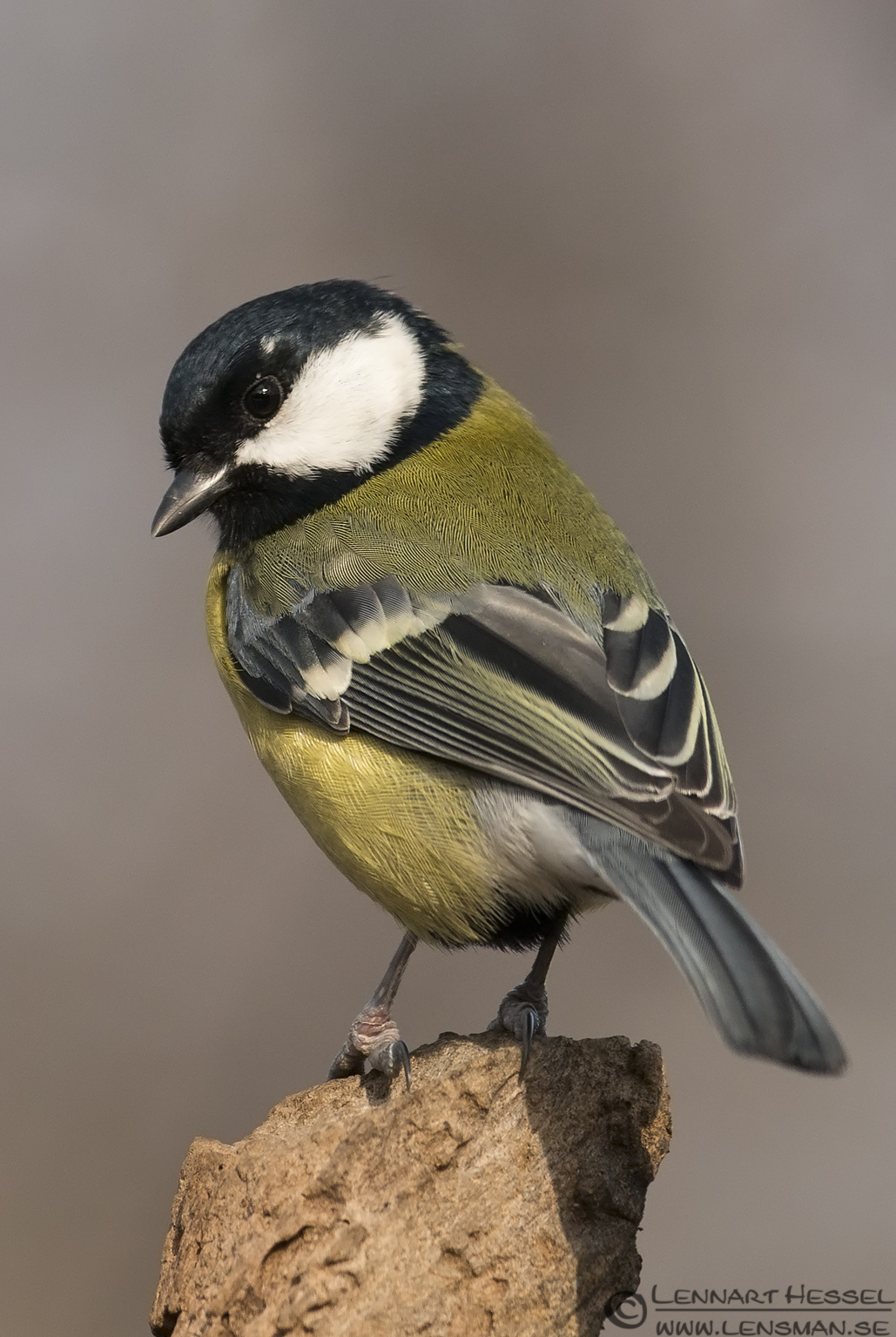 Great Tit in Hungary