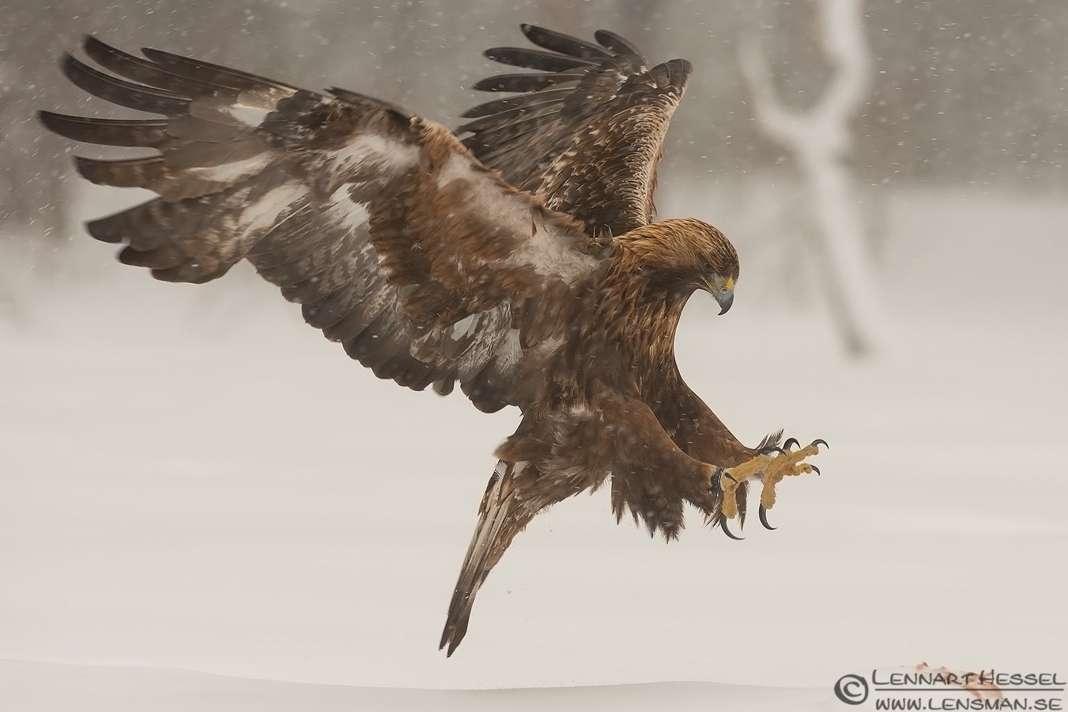 Male Golden Eagle landing wilderness