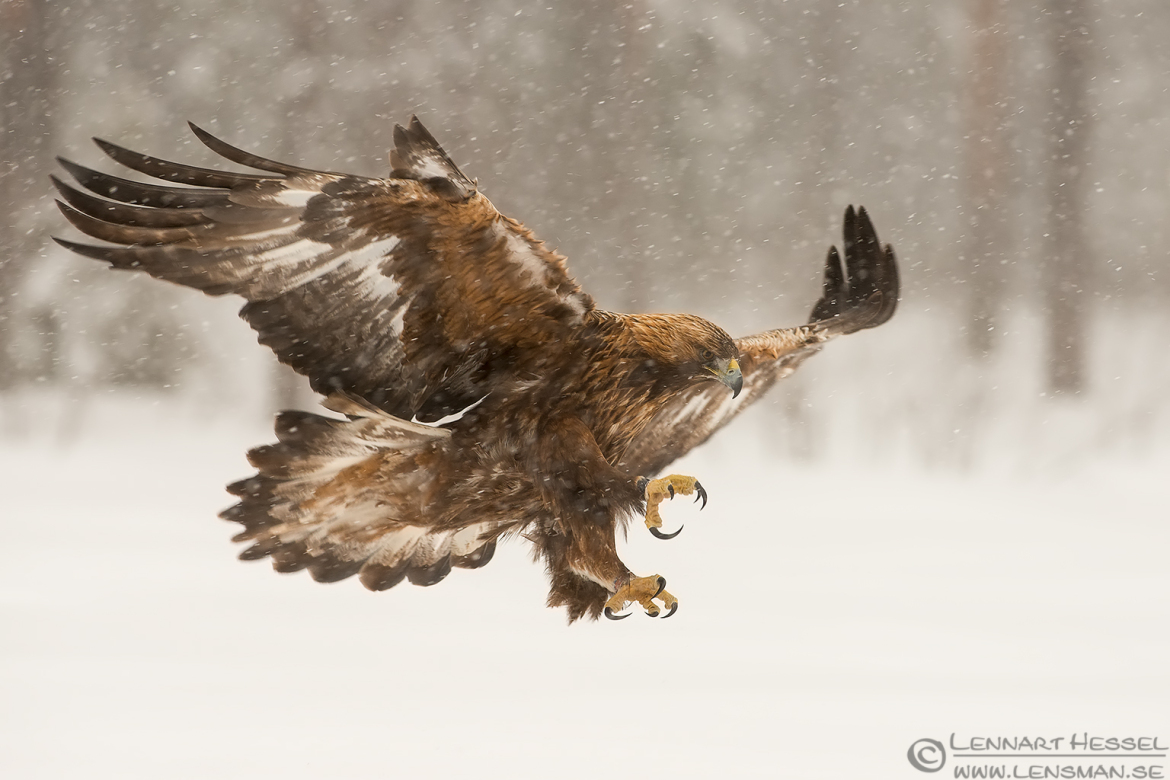 Male Golden Eagle landing in the wilderness image