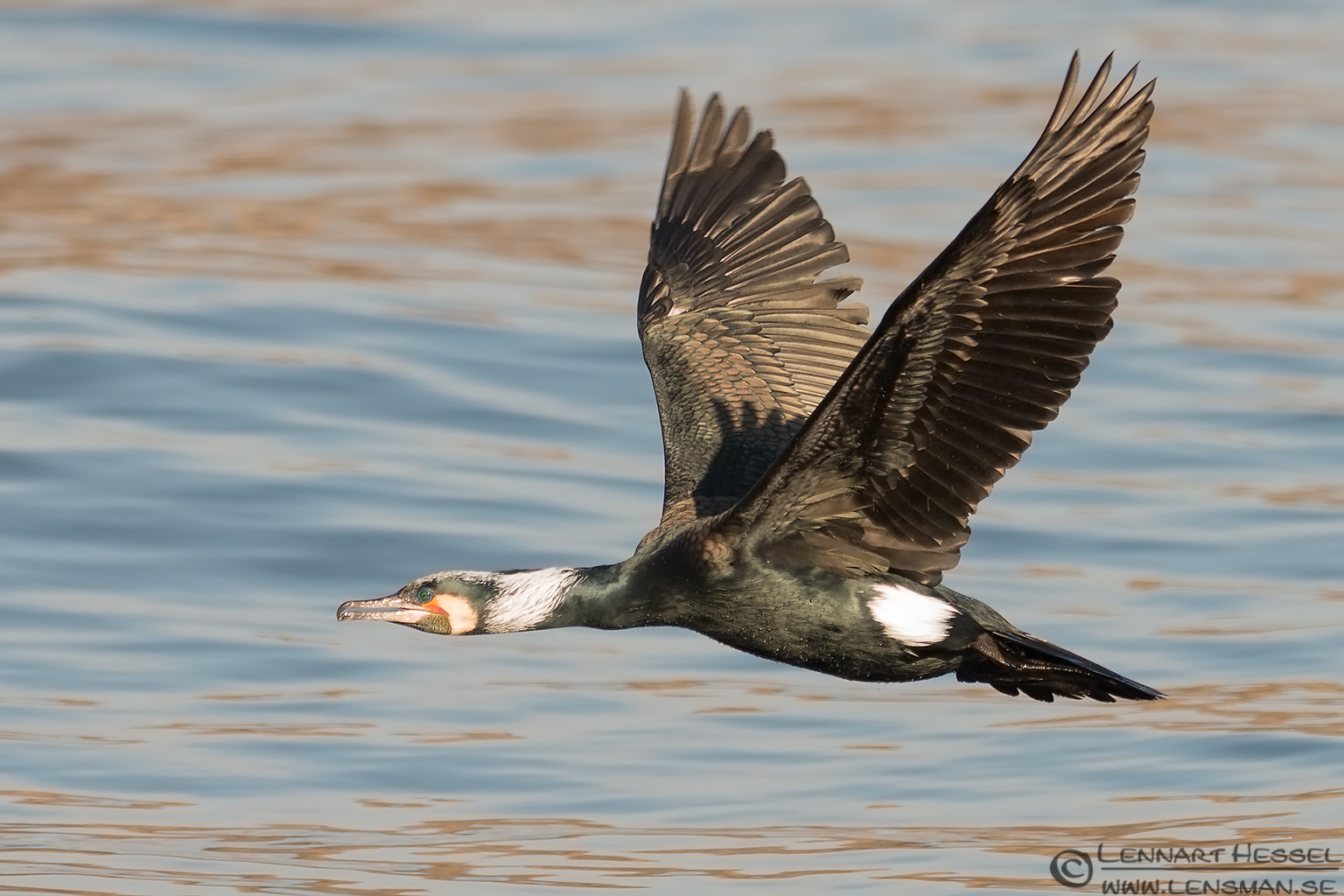 Great Cormorant flying in Gothenburg