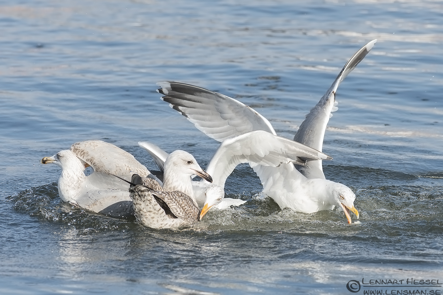 Gulls in Gothenburg
