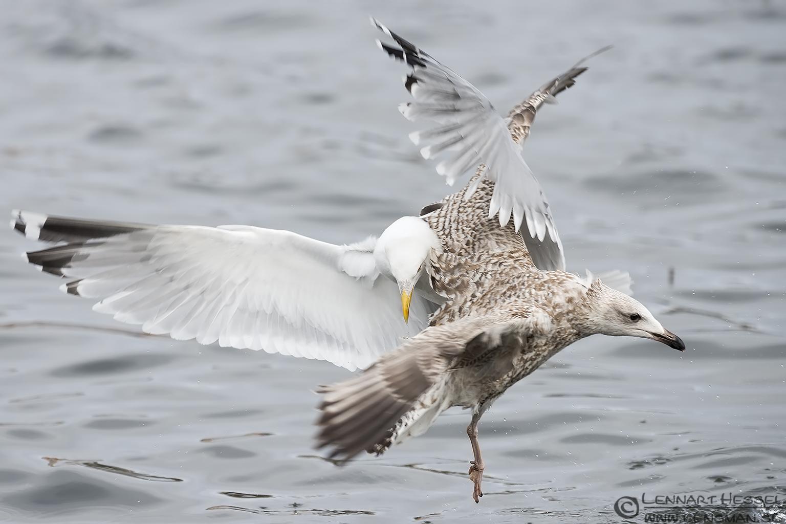 European Herring Gulls, Gothenburg dipper