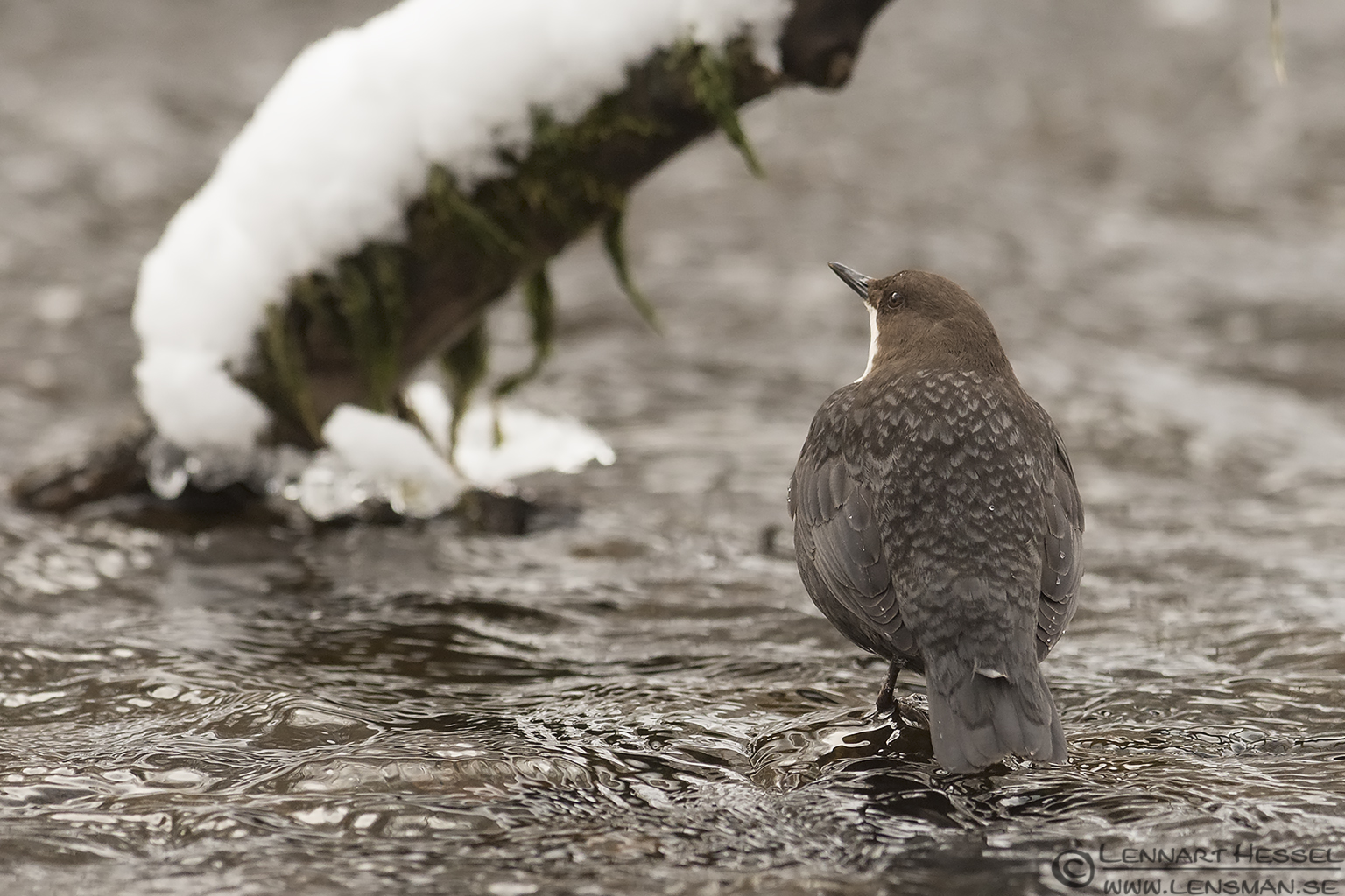 White-throated Dipper in Jonsered