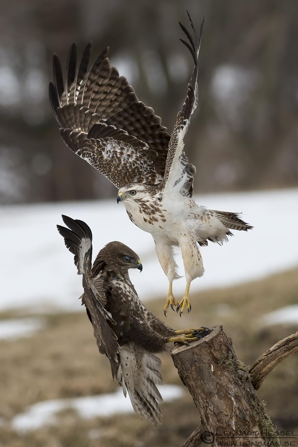 Common Buzzard fighting Fyledalen