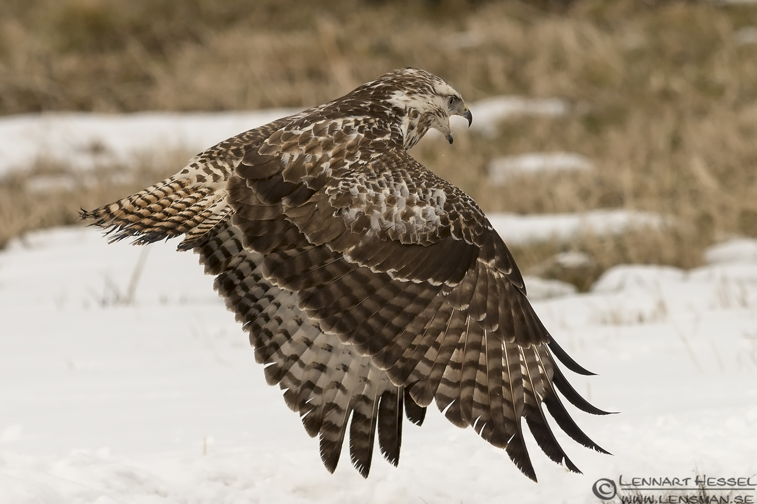Common Buzzard flight Fyledalen
