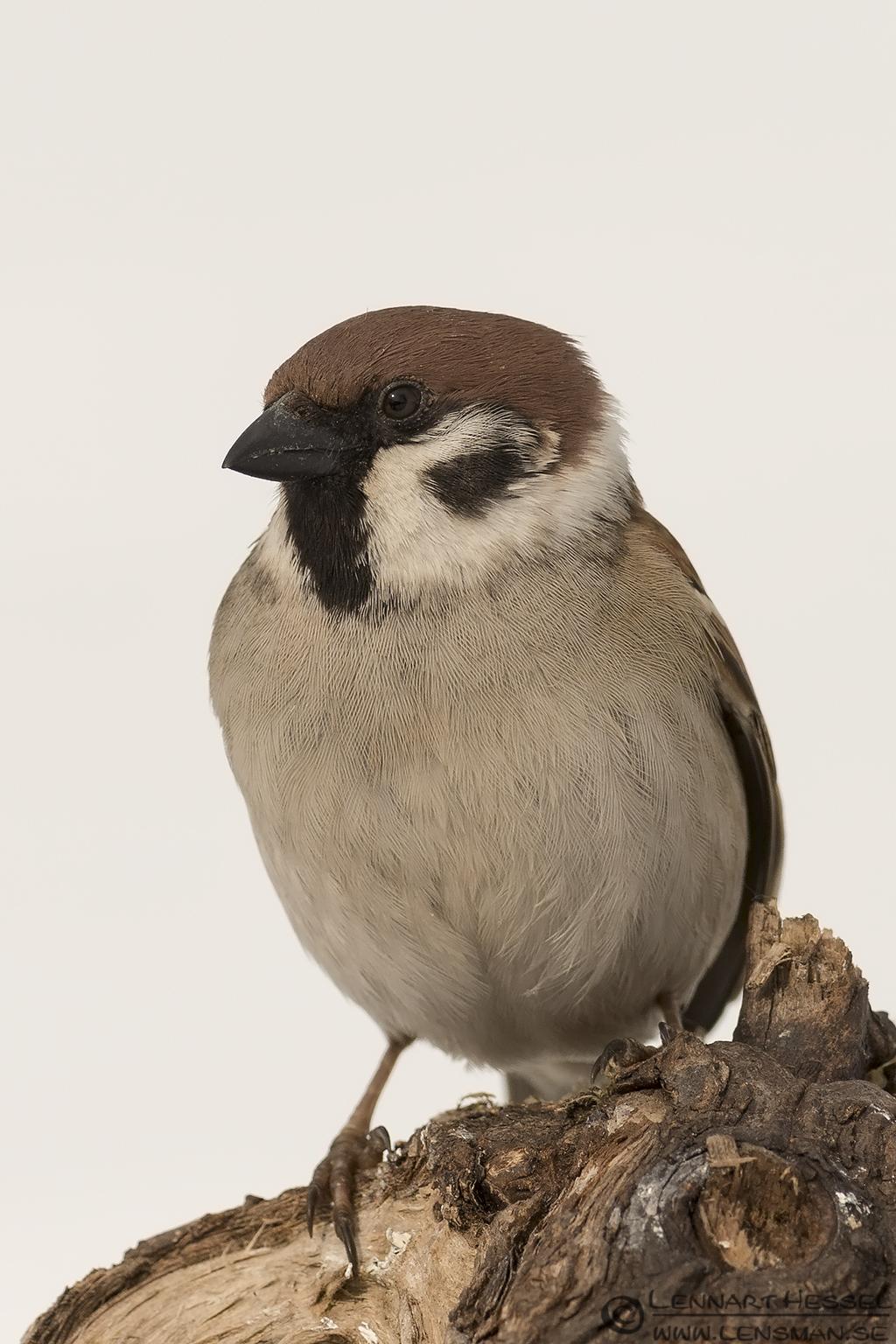Tree Sparrow Fyledalen