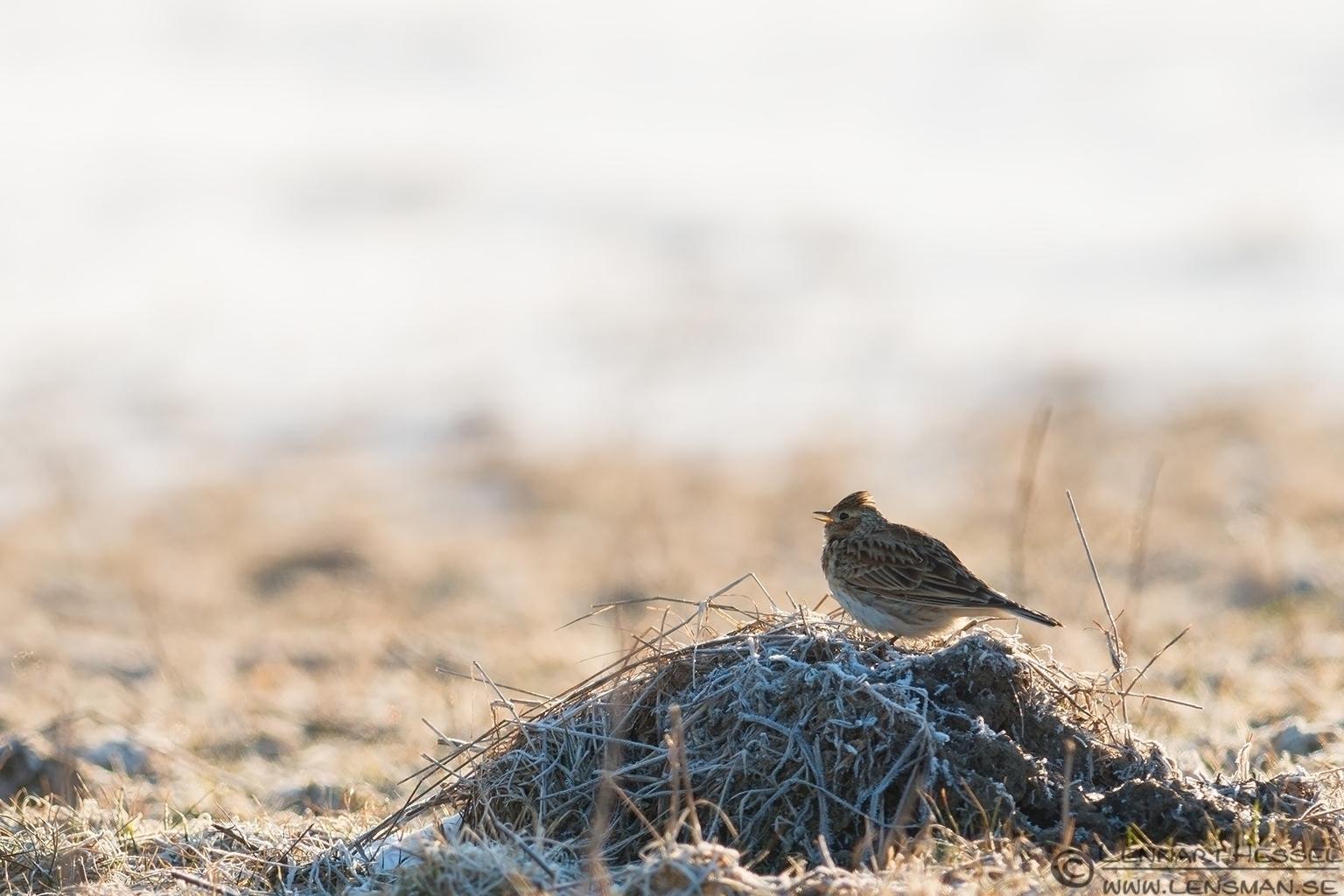 Singing Eurasian Skylark eastern