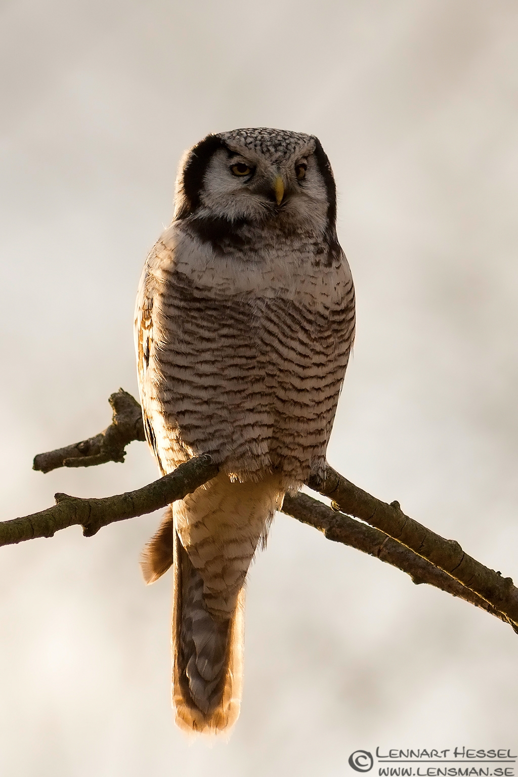 Northern Hawk-Owl Eastern