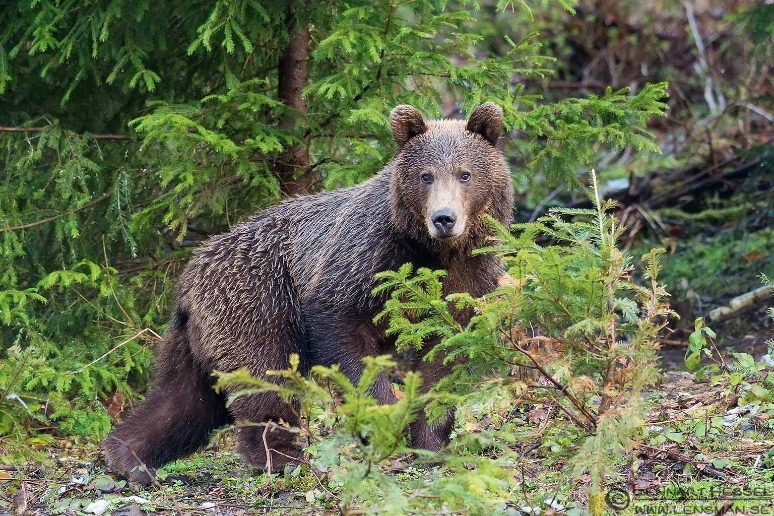 Brown Bear in Romania