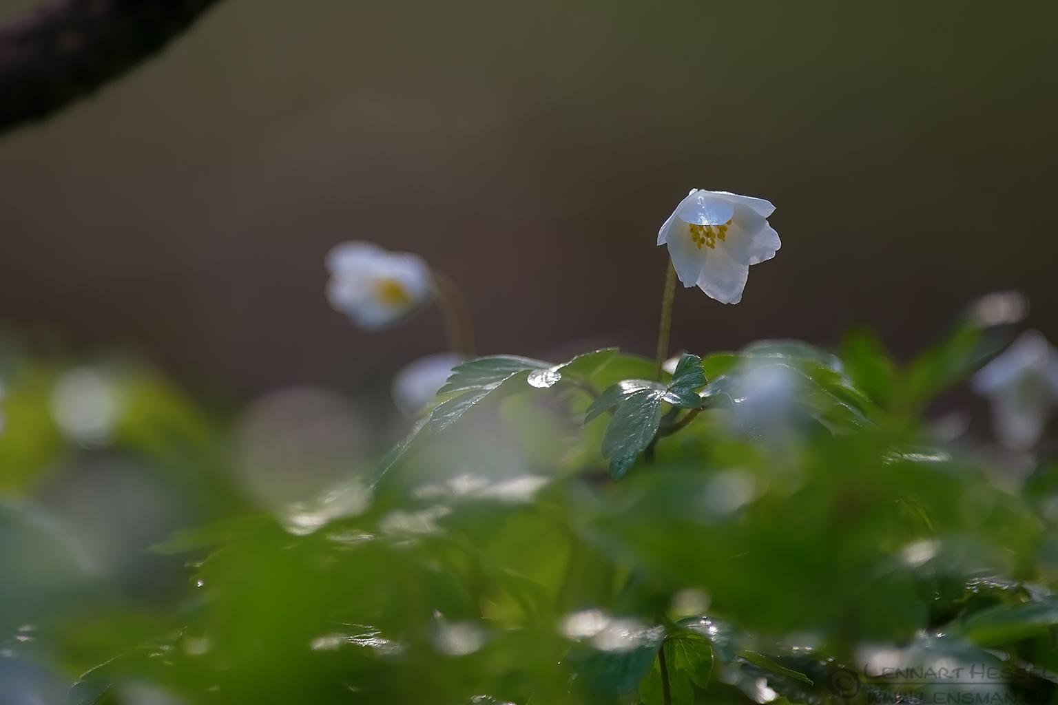 White flowers Transylvania, Romania