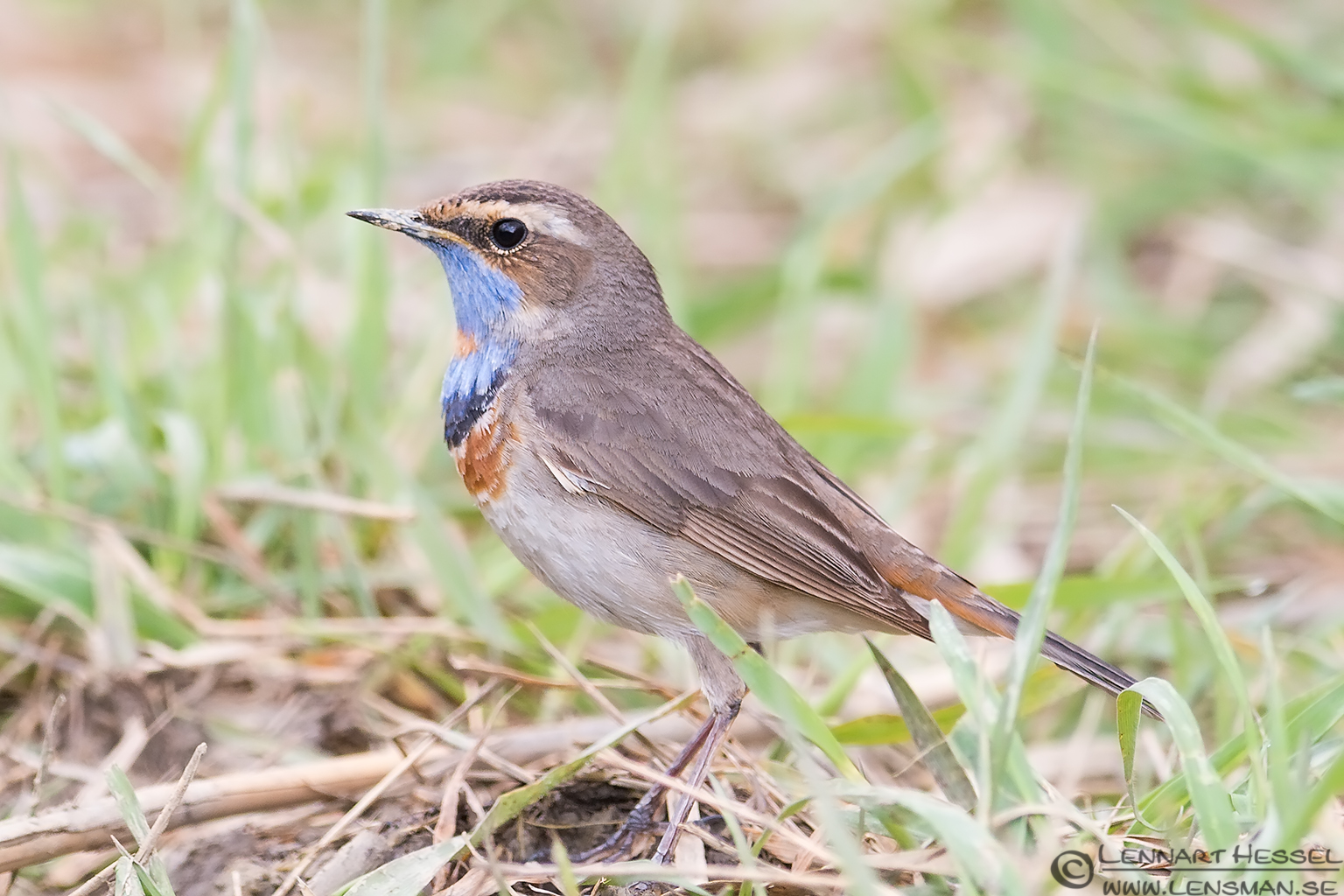 Bluethroat Transylvania, Romania