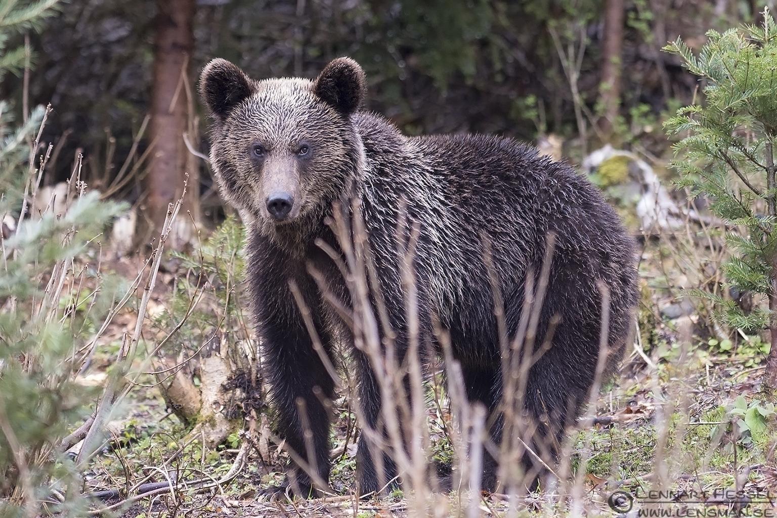 Brown Bear Transylvania, Romania