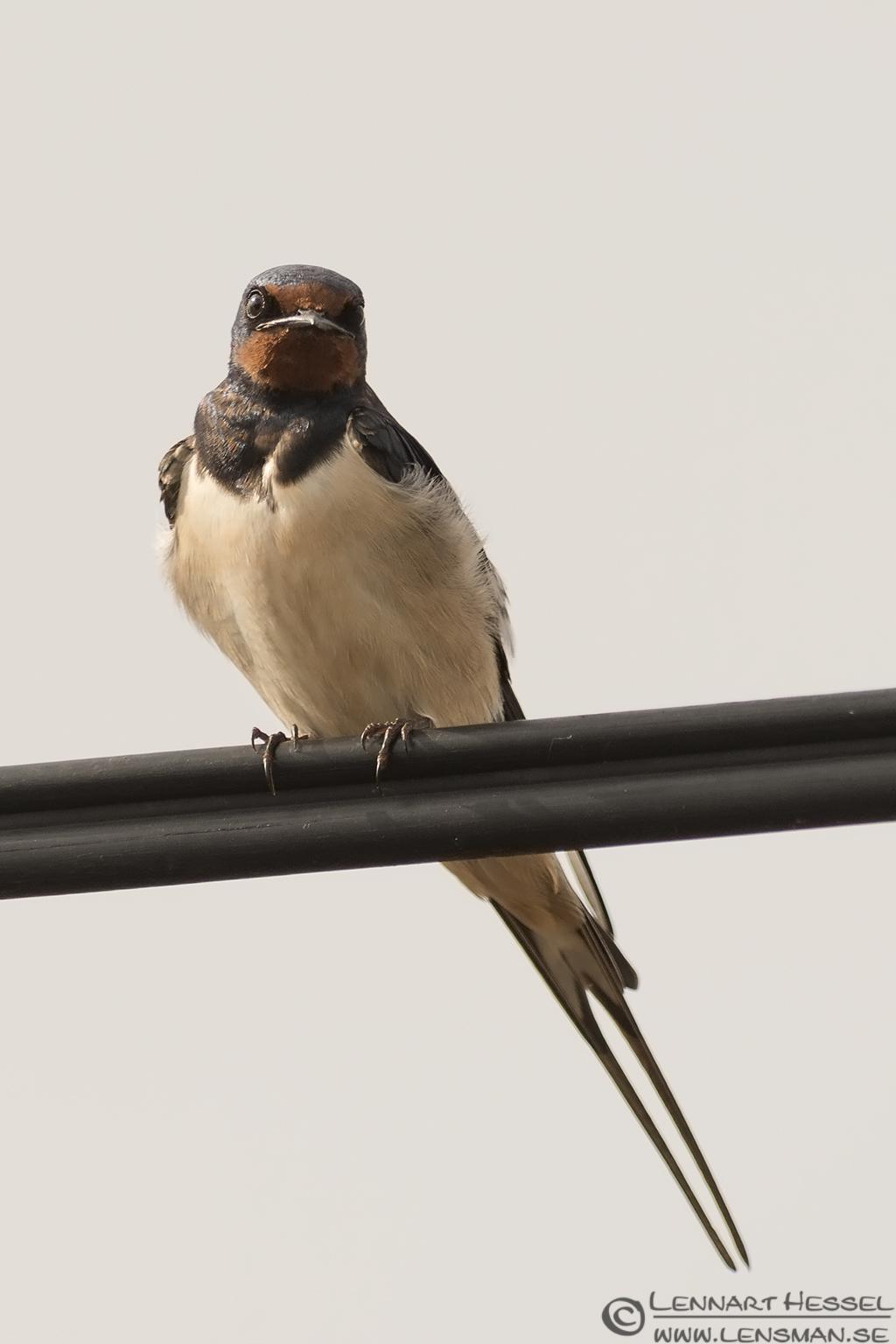 House Swallow Transylvania, Romania