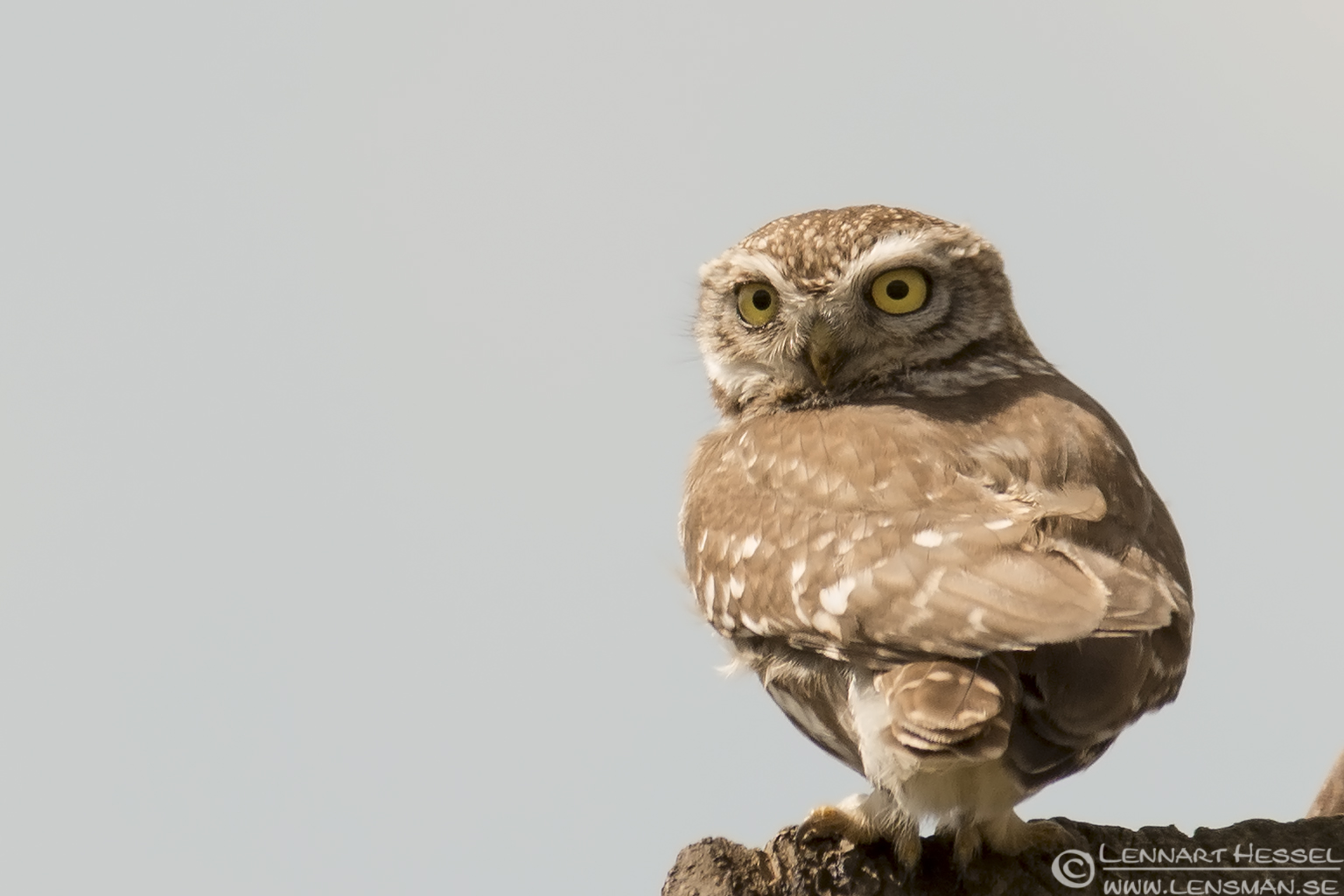 Little Owl in Romania