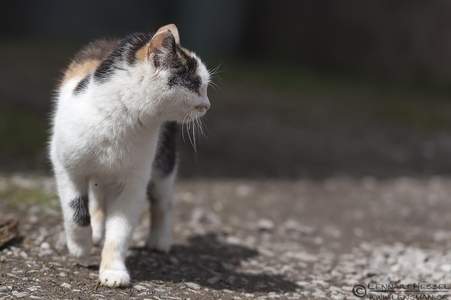 The cat Transylvania, Romania