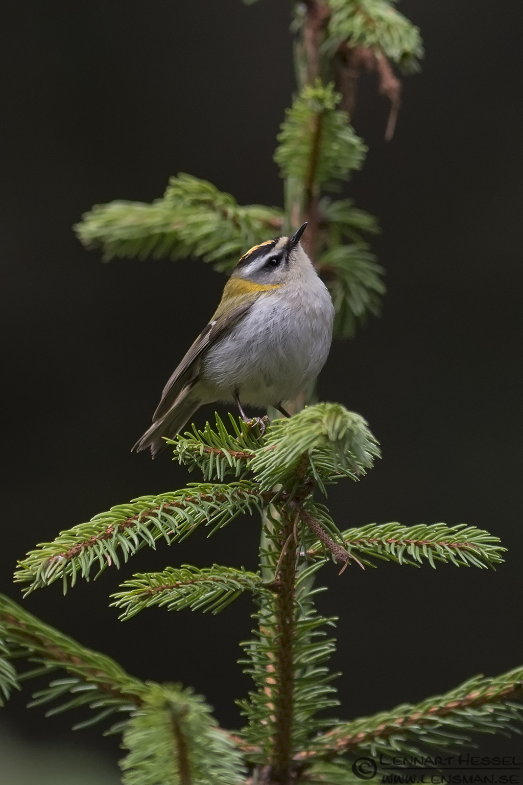 Firecrest in Romania