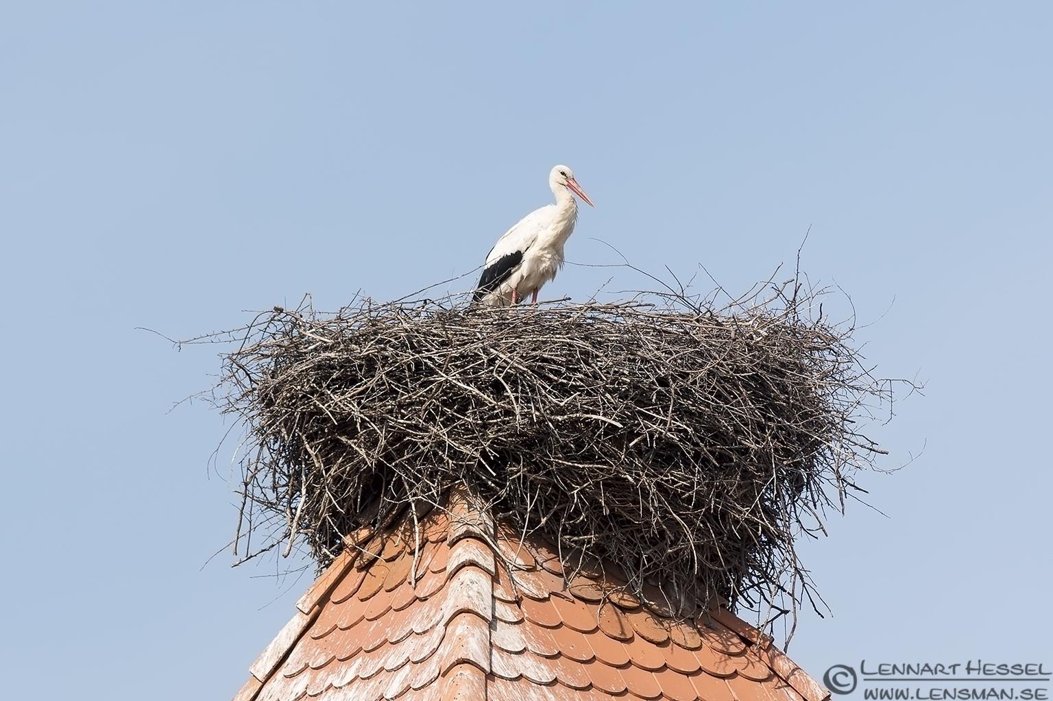 White Stork nest Transylvania, Romania