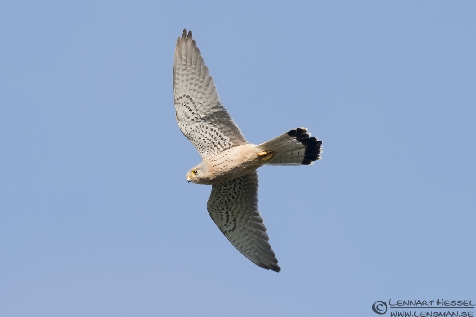 Common Kestrel in Bulgaria