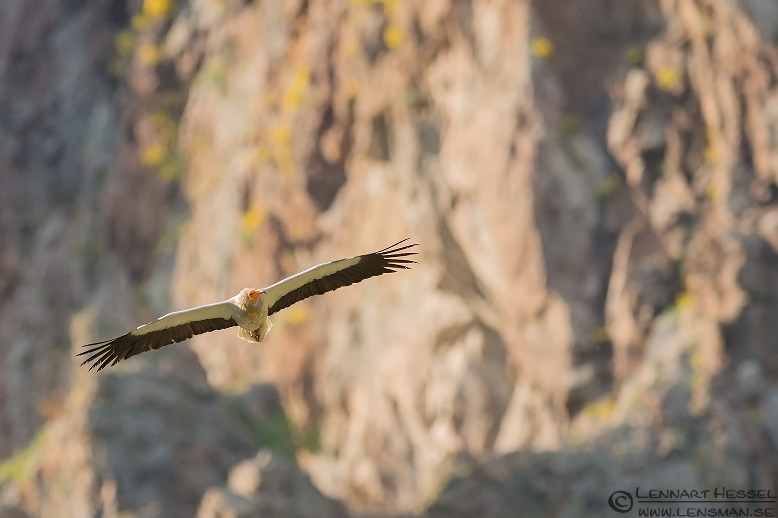 Egyptian Vulture in Bulgaria