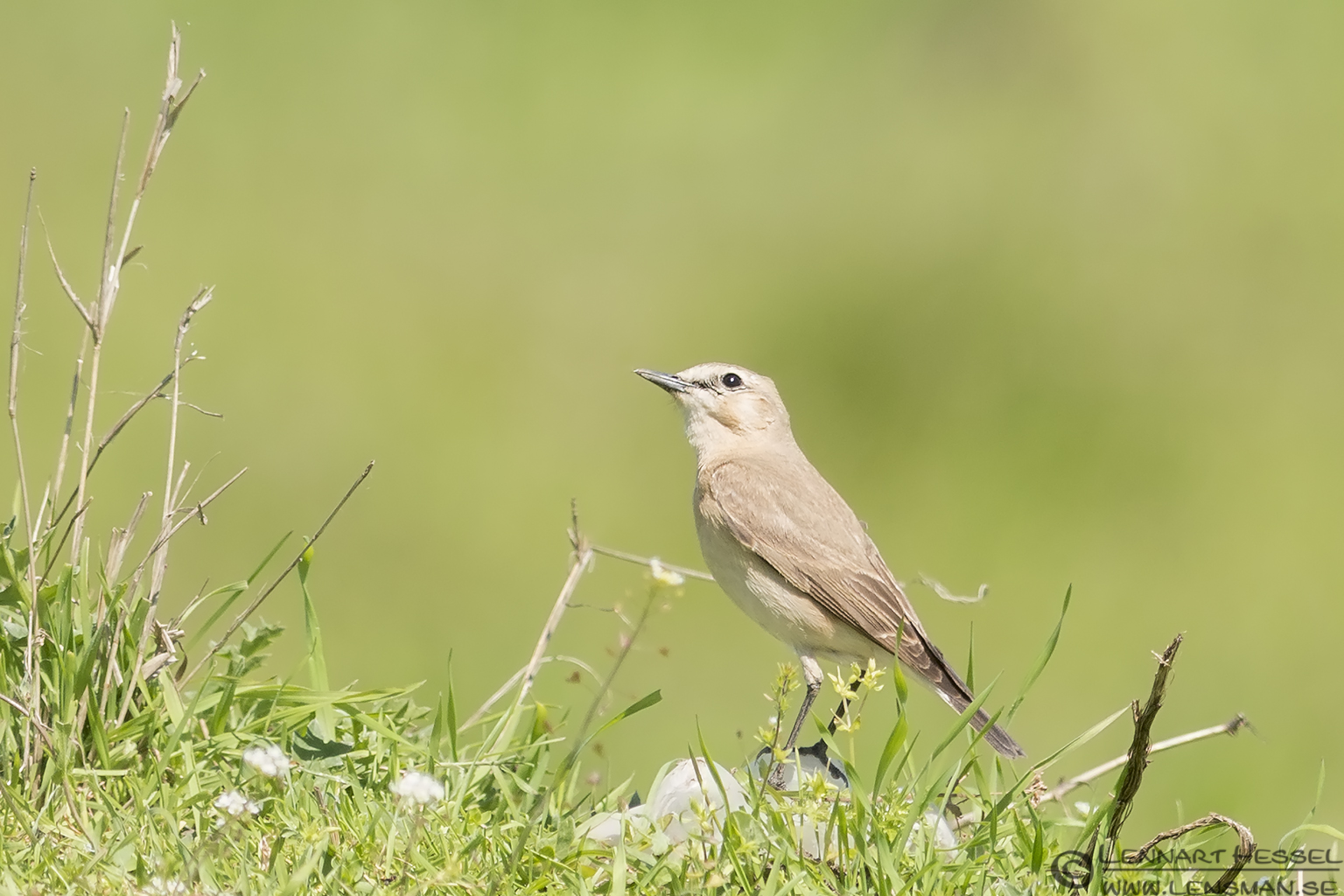 Isabelline Wheatear in Bulgaria