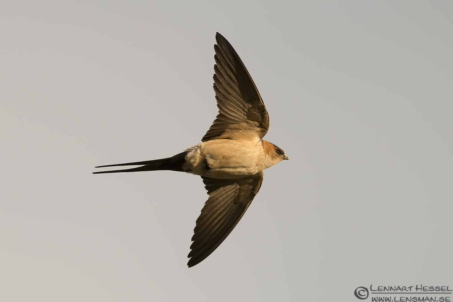 Red-rumped Swallow in Bulgaria