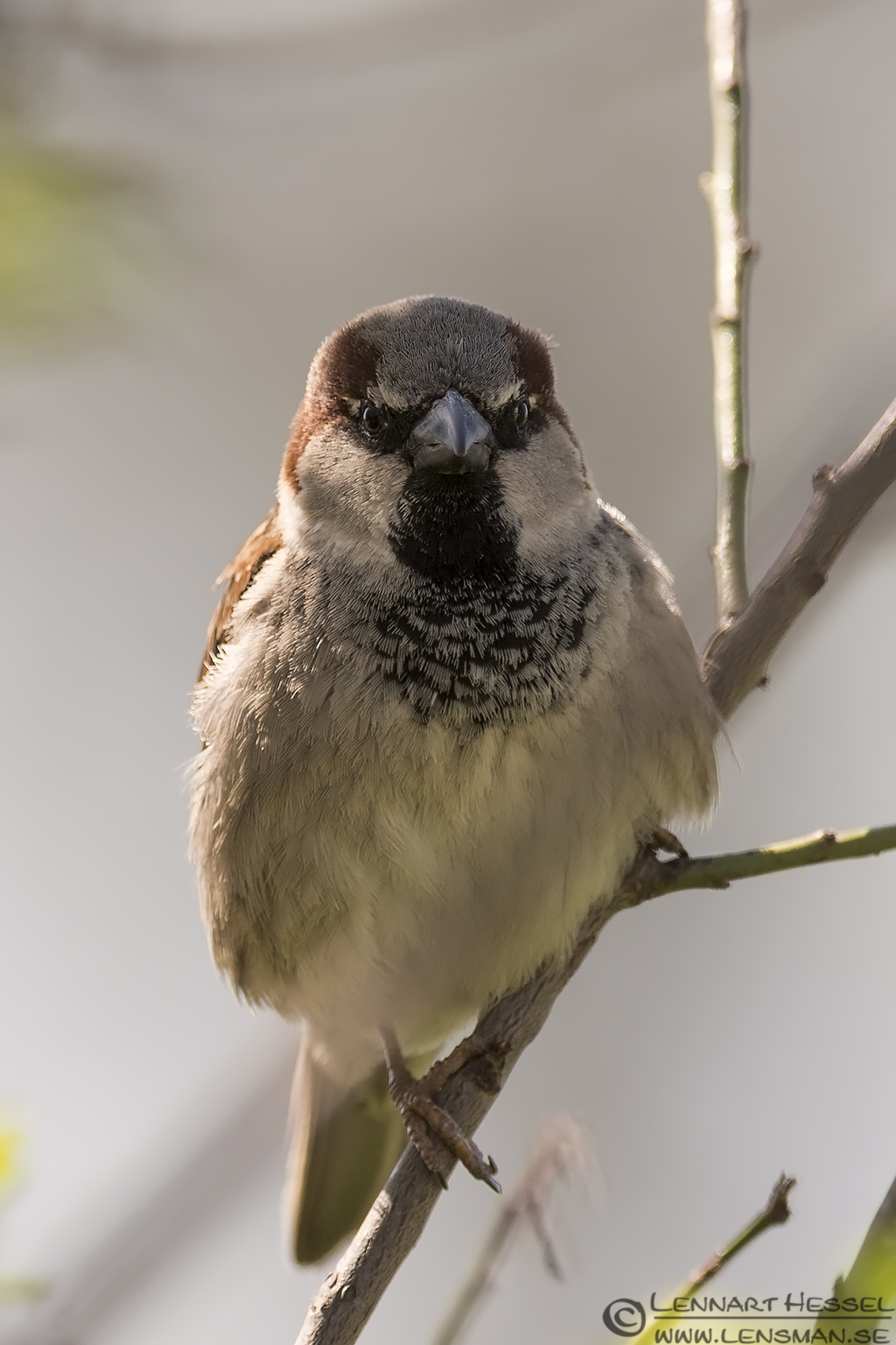 House Sparrow in Bulgaria