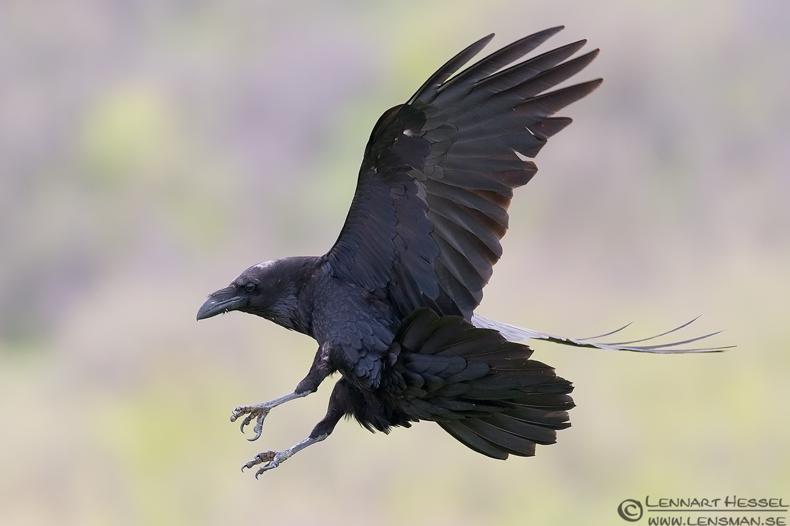 Common Raven from Bulgaria Vulture workshop