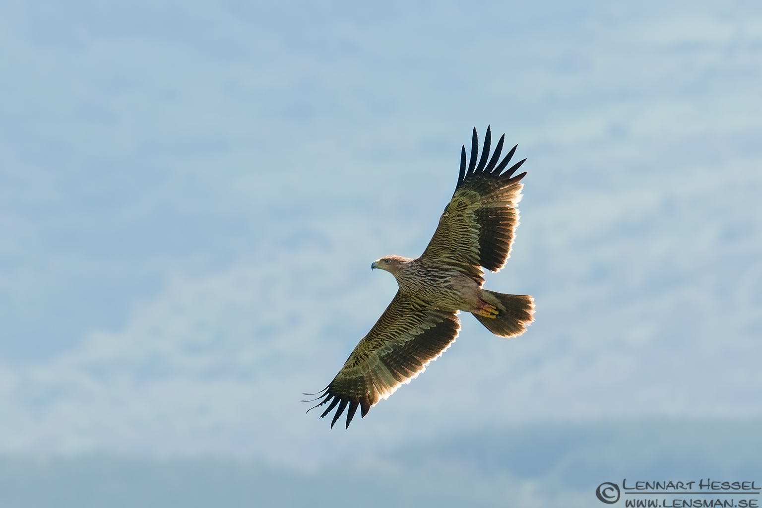 Eastern Imperial Eagle in Bulgaria