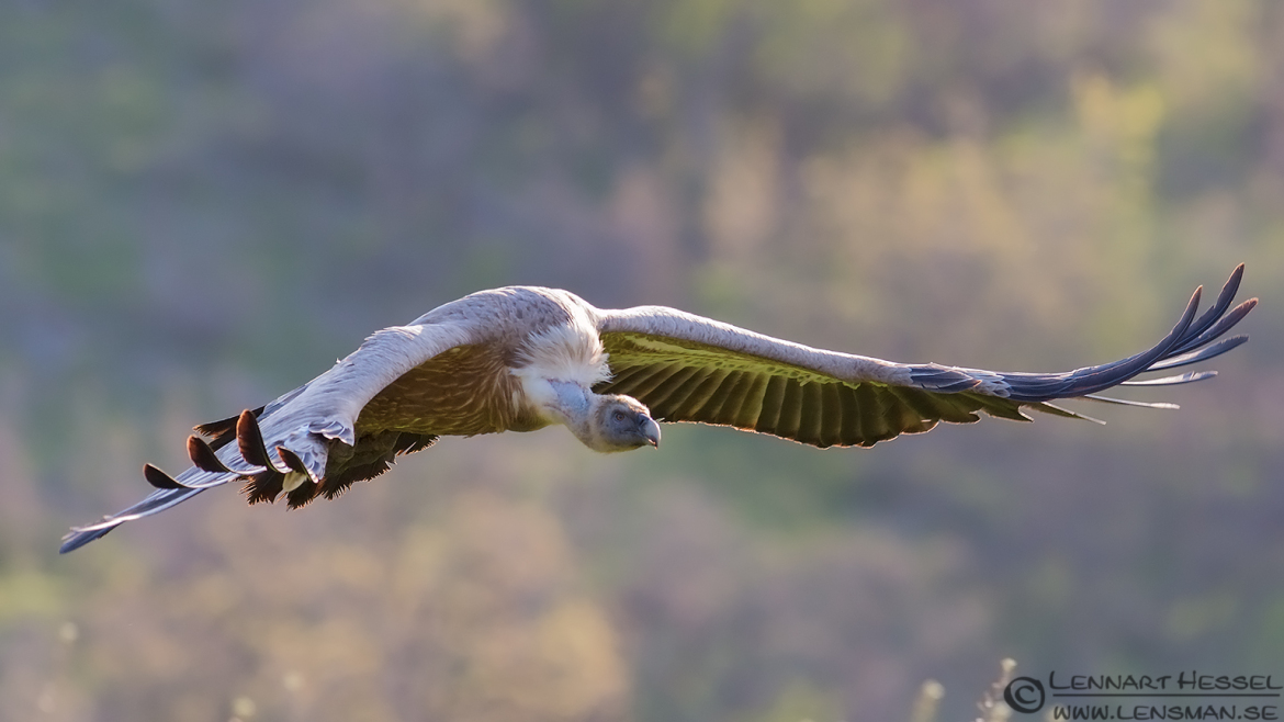 Flying Griffon vulture in Bulgaria africa geographic article