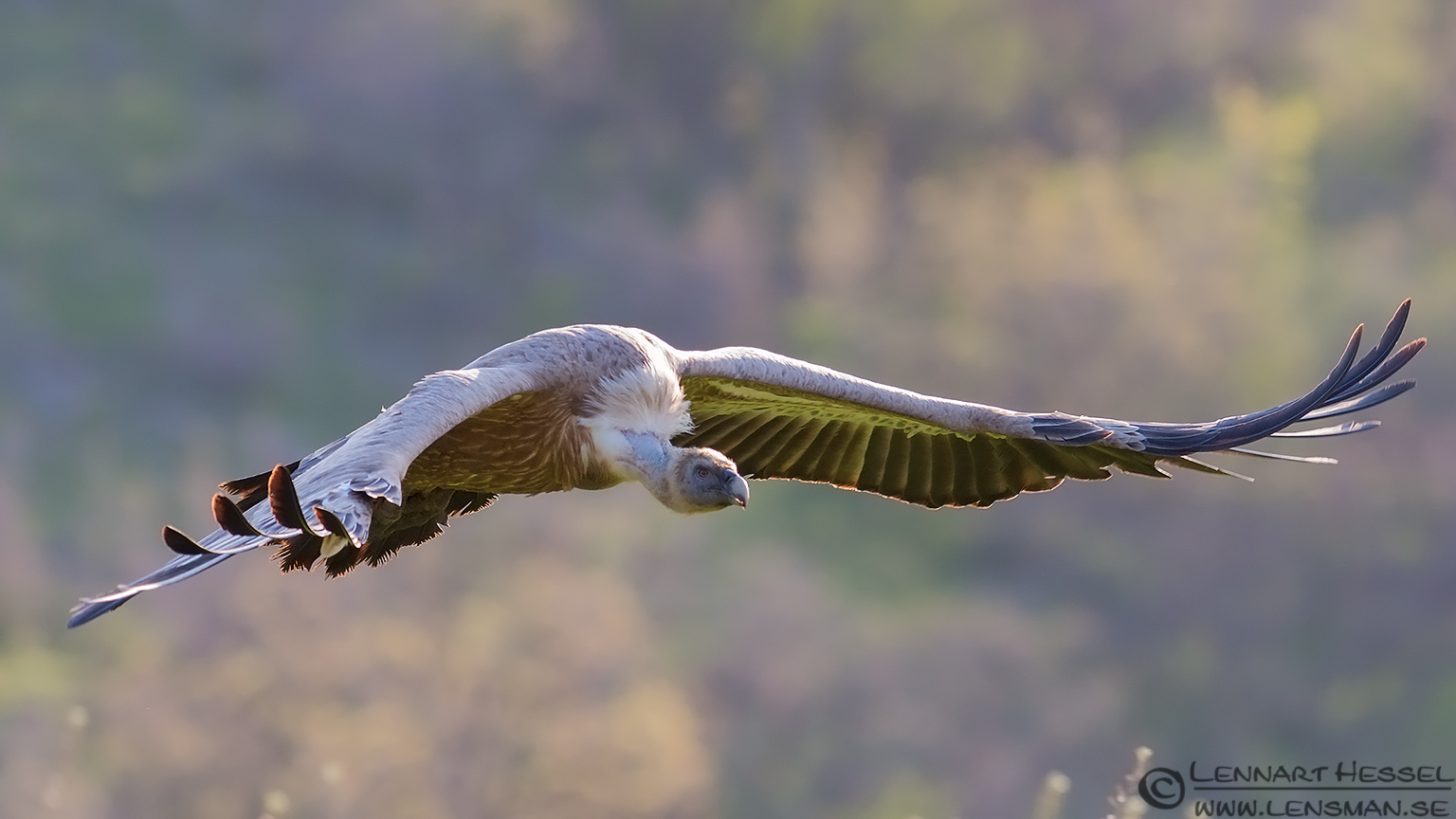 Flying Griffon vulture in Bulgaria africa geographic