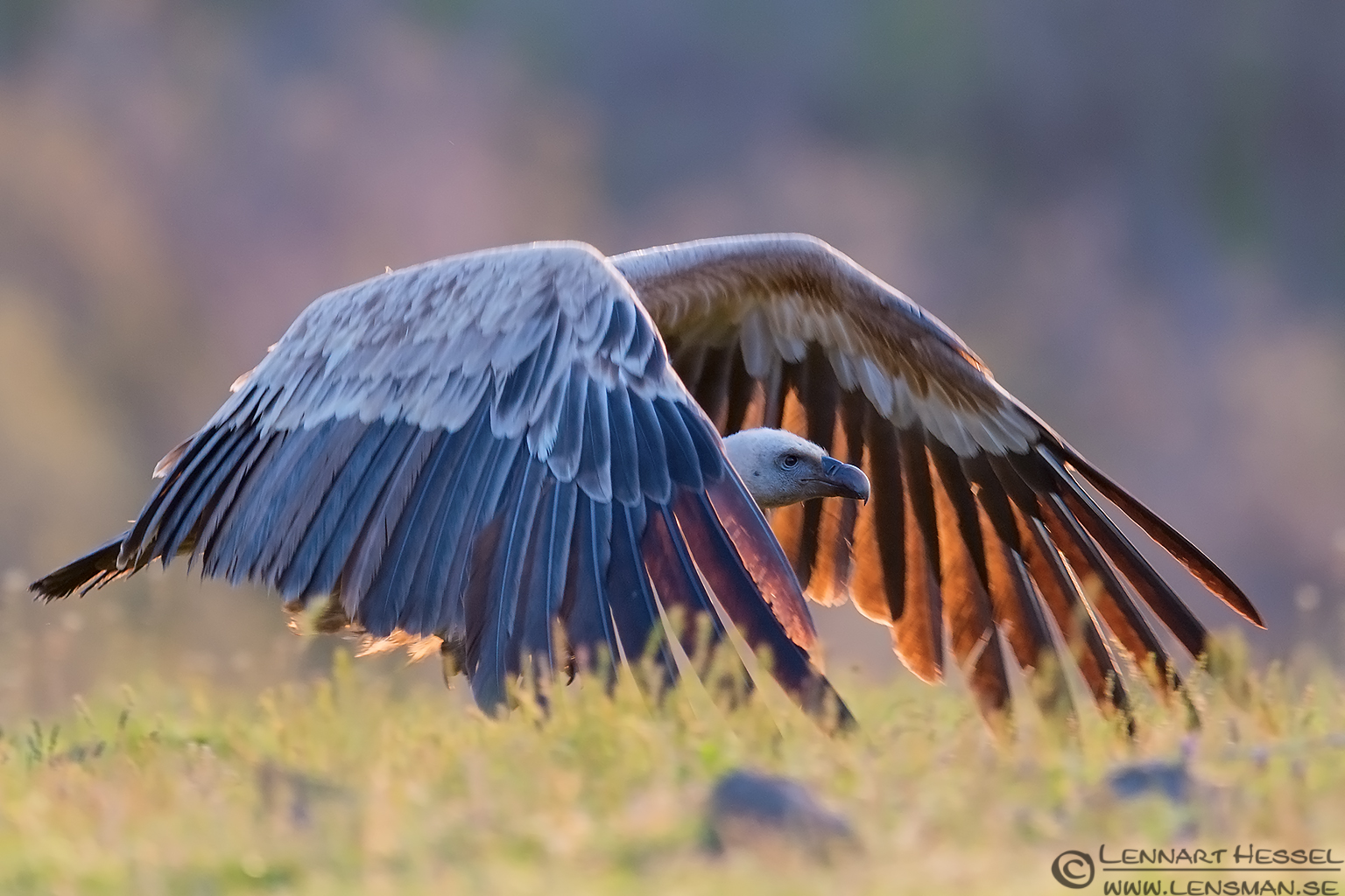 Griffon Vulture in Bulgaria