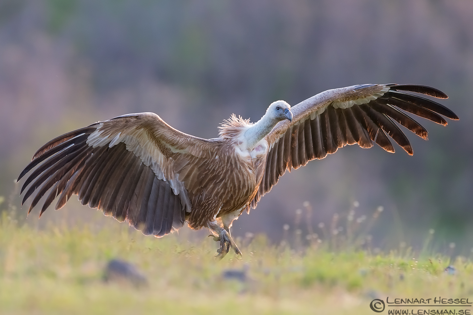 Landing Griffon Vulture in Bulgaria