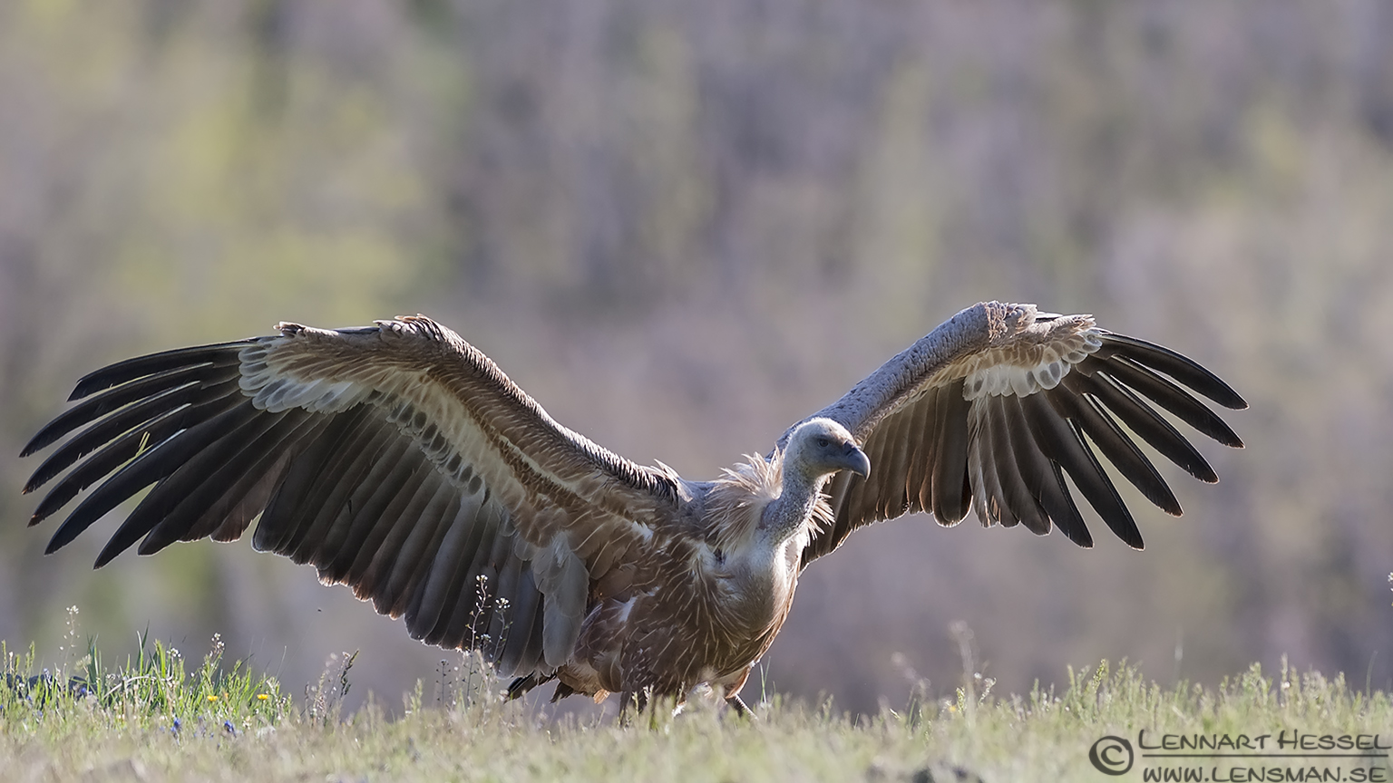Threatening Griffon vultue in Bulgaria