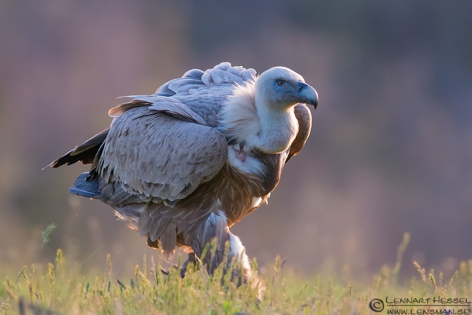 Running Griffon vulture in Bulgaria